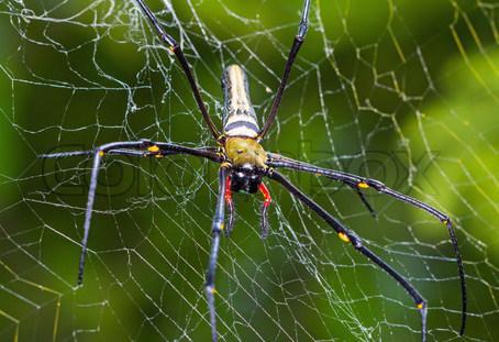 Паук кругопряд - Larinioides ixobolus - Альбомы пользователей ... | 311x454